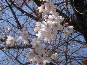 sakura-okazaki