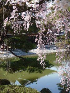 sakura-byodoin-kyoto