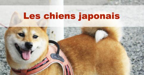 chien-japonais
