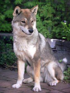 Chien shikoku, source : wikipedia