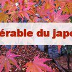 Article Érable du Japon : Momiji ou Kouyo