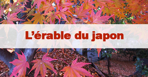 Article Érable du Japon : Momiji ou Kouyo