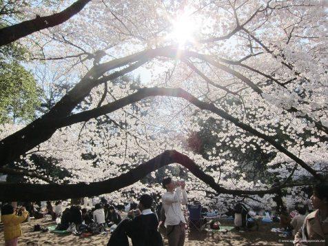 Hanami au parc shinjuku gyoen