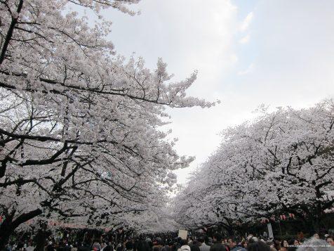 Les fleurs de ceriser au parc Ueno